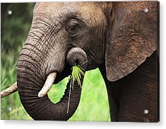 Elephant Eating Close-up Acrylic Print