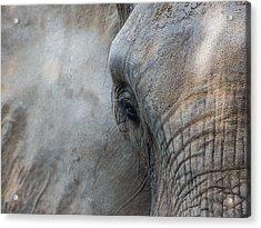 Elephant Portrait Acrylic Print
