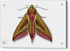Elephant Hawk Moth Butterfly - Deilephila Elpenor Naturalistic Painting - Nettersheim Eifel Acrylic Print