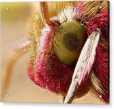 Elephant Hawk Moth Extreme Macro Acrylic Print