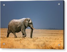 Elephant In Grassfield Acrylic Print