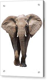Elephant Isolated Acrylic Print by Johan Swanepoel