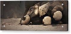 Elephant - Lying Down Acrylic Print by Johan Swanepoel
