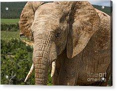 Elephant Profile Acrylic Print