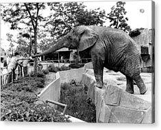 Elephant Reaches For Food Acrylic Print by Retro Images Archive