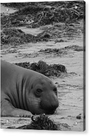Elephant Seal Conteplation Acrylic Print by Gwendolyn Barnhart