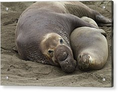 Elephant Seal Couple Acrylic Print