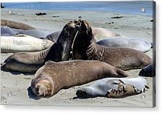 Elephant Seals Acrylic Print by Mike Ronnebeck