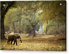 Elephant Strolling In Enchanted Forest Acrylic Print by Alison Buttigieg