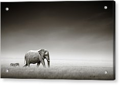 Elephant With Zebra Acrylic Print