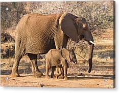 Elephants Big And Small Acrylic Print