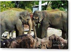 Elephants Snuggle Acrylic Print