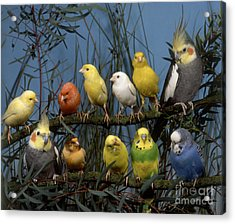 Eleven Parakeets Budgies Acrylic Print by Hans Reinhard