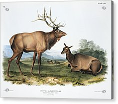 Elk, 19th Century Artwork Acrylic Print by Science Photo Library