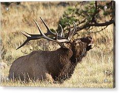 Elk - 4108 Acrylic Print