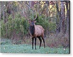 Elk - 7597 Acrylic Print