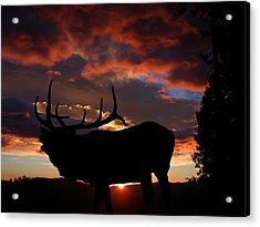 Elk At Sunset Acrylic Print