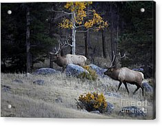 Elk Battle Stalk Acrylic Print