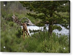 Elk Calf Acrylic Print
