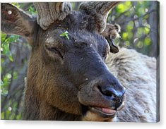 Acrylic Print featuring the photograph Elk Chuckle by Shane Bechler