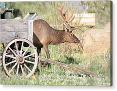 Acrylic Print featuring the photograph Elk Drawn Carriage by Shane Bechler
