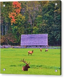Elk During The Rut In Tennessee Acrylic Print by Dan Sproul