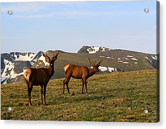 Elk Feeding Acrylic Print by Rebecca Adams
