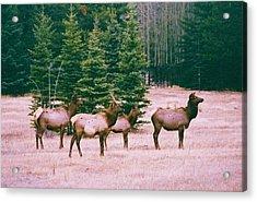 Elk In Canada Acrylic Print by Richard Jenkins