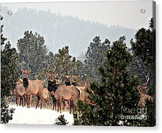 Acrylic Print featuring the photograph Elk In The Snowing Open by Barbara Chichester