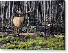 Elk In The Woods Acrylic Print