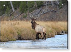 Acrylic Print featuring the photograph Elk On The Madison by Daniel Behm