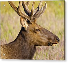 Acrylic Print featuring the photograph Elk Profile by Todd Kreuter