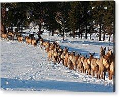 Elk Train Acrylic Print by Steven Reed