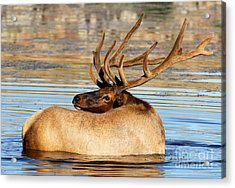 Elk Velveteen  Acrylic Print
