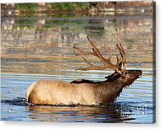 Elk Cooling Down In Lake Acrylic Print