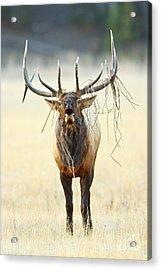 Elk With A Headdress Acrylic Print