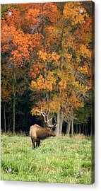 Elk With Autumn Colors Acrylic Print