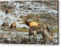 Elk With Big Horn Sheep, Oak Creek Acrylic Print by Tom Norring