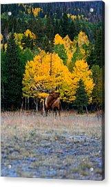 Elks Last Call Acrylic Print by Rebecca Adams