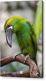 Emerald Toucanet Acrylic Print by Phil Abrams