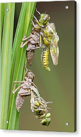 Emerging Chaser Dragonflies Acrylic Print by Heath Mcdonald