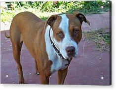 Emma The Pitbull Dog Acrylic Print