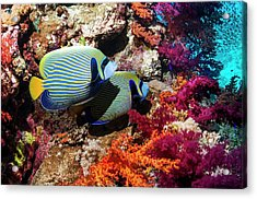Emperor Angelfish On A Reef Acrylic Print by Georgette Douwma