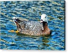 Emperor Goose Acrylic Print