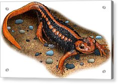 Emperor Newt Acrylic Print by Roger Hall