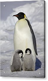 Emperor Penguin And Two Chicks Acrylic Print