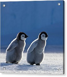 Emperor Penguin Chicks Acrylic Print by Jean-Louis Klein and Marie-Luce Hubert