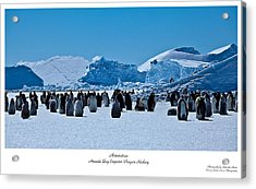 Emperor Penguin Rookery Acrylic Print by David Barringhaus