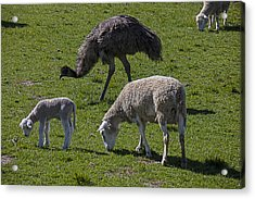 Emu And Sheep Acrylic Print by Garry Gay