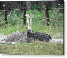 Emu Birds Acrylic Print by Sonali Gangane
